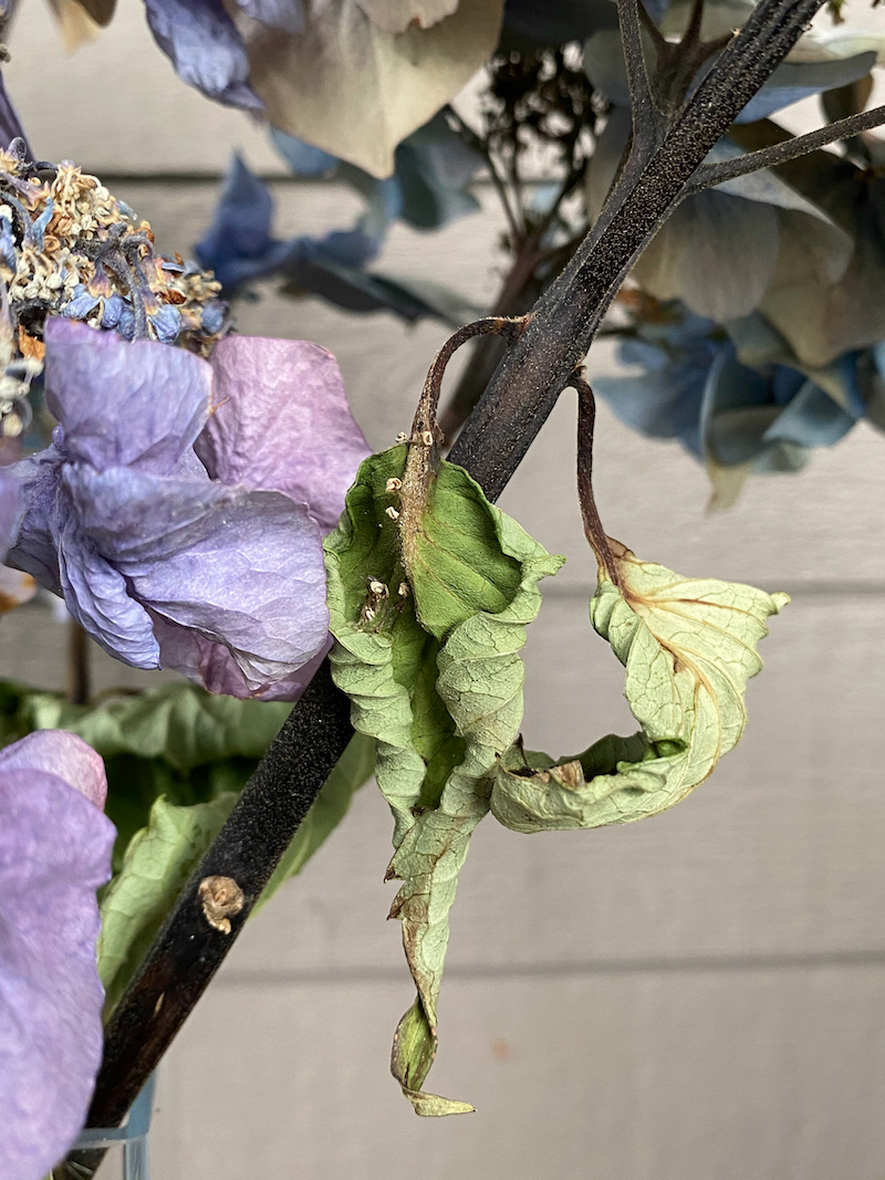 dying blue hydrangea, archival digital print by Canadian photographer barbra edwards, Pender Island, BC